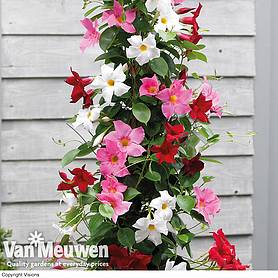Mandevilla sanderi 'Bloom Bells®' Trio