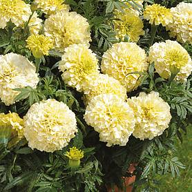 Marigold 'French Vanilla' (Garden ready)
