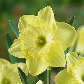 Daffodil 'St Patricks Day'