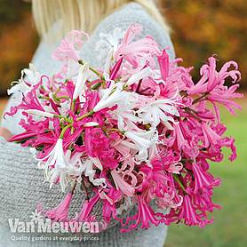 nerine bowdenii mixed