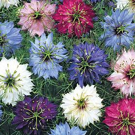Nigella damascena 'Persian Jewels Mixed' (Seeds)