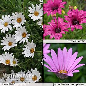 Osteospermum Hardy Collection