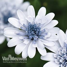osteospermum erato double ice blue
