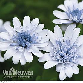 Osteospermum 'Erato Double Ice Blue'