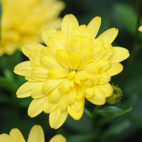 Osteospermum '3D Yellow'