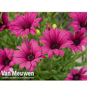 Osteospermum 'Tresco Purple' (Hardy)