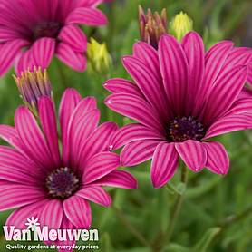 osteospermum tresco purple hardy