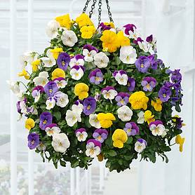 Pansy 'Plentifall' Mix