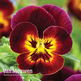 Pansy 'Coolwave Fire'