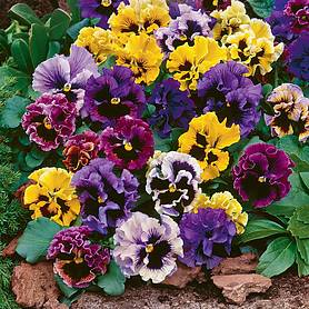 Pansy 'Frizzle Sizzle Ballerina Mix'
