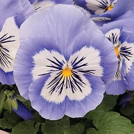 Pansy 'Mystique Blue Halo'