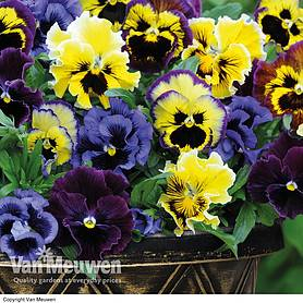 Pansy 'Frizzle Sizzle'