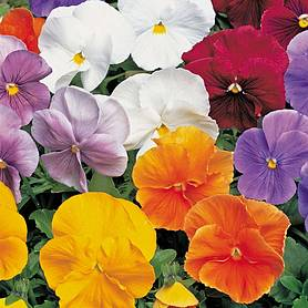Pansy 'Clear Crystal Mixed' (Seeds)