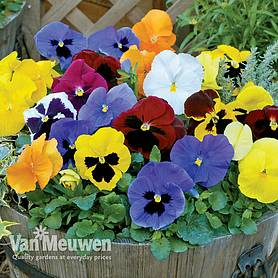 pansy winter flowering super mix