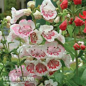 Penstemon 'Strawberries and Cream'