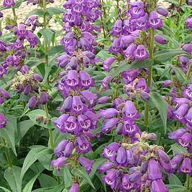 Penstemon 'Pensham Westminster Belle'