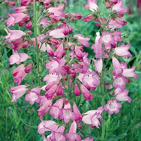 Penstemon 'Sour Grapes'