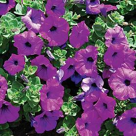 Petunia Surfinia 'Purple'