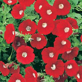 Petunia 'Surfinia® Blood Red'