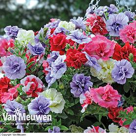 Petunia 'Frills & Spills'™ Mixed Pre-Planted Basket