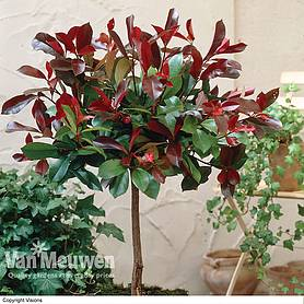 Photinia x fraseri 'Red Robin' (Patio Standard)