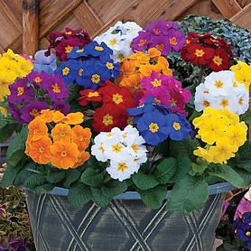 Polyanthus 'Crescendo' (Pre-planted Patio Pot)
