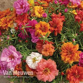 Portulaca 'Stopwatch Mix'