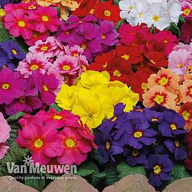Primrose 'Eternity Mixed'