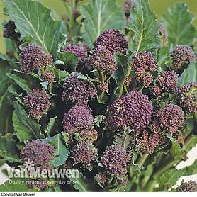 Broccoli 'Early Purple Sprouting' (Purple Sprouting) (Seeds)