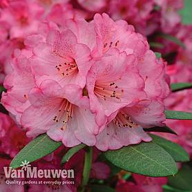 Rhododendron 'Wine and Roses'