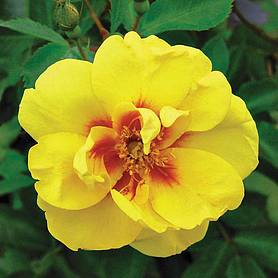 Rose 'Eye of the Tiger' (Shrub Rose)