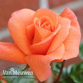 Rose 'Scent from Heaven'