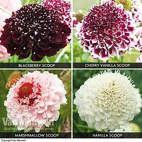 Scabious 'Scoop Collection'