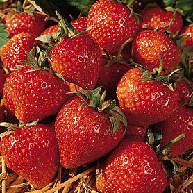 Strawberry 'Cambridge Favourite' (Mid Season)