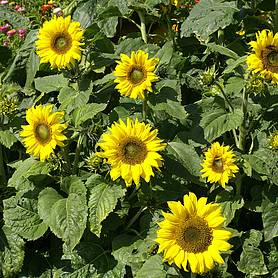 Sunflower 'Topolino' (Seeds)