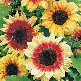 Sunflower 'Magic Roundabout' F1 Hybrid (Seeds)