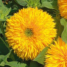 Sunflower 'Teddy Bear' (Seeds)