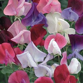 Sweet Pea 'Old Fashioned Scented Mix' (Seeds)