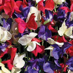 Sweet Pea 'Coronation Festival' (Seeds)