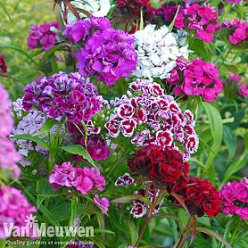 Sweet William 'Mixed' (Garden Ready)