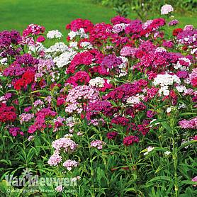 sweet william sweet mix