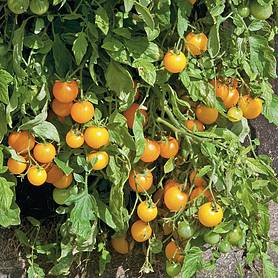 Tomato 'Golden Pearl' (Seeds)
