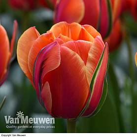 Tulip 'Queensday'
