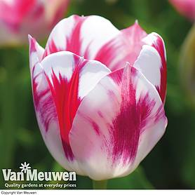 Tulip 'Blenda Flame'