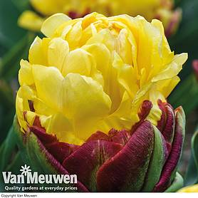 Tulip 'Ice Cream Duo'