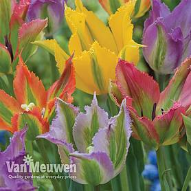 tulip frilly fiesta mixed