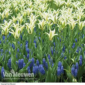 Tulip and Muscari 'Blue and White Mix'