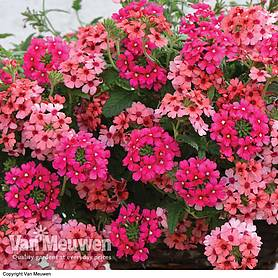 Verbena Showboat Magenta & Mango Orange Mixed