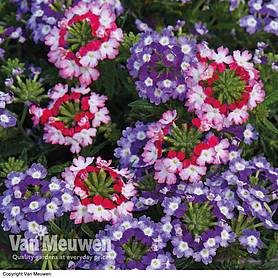 Verbena Obsession Twister Red & Purple
