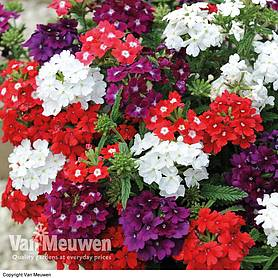 Verbena 'Quartz Mix' (Garden Ready)